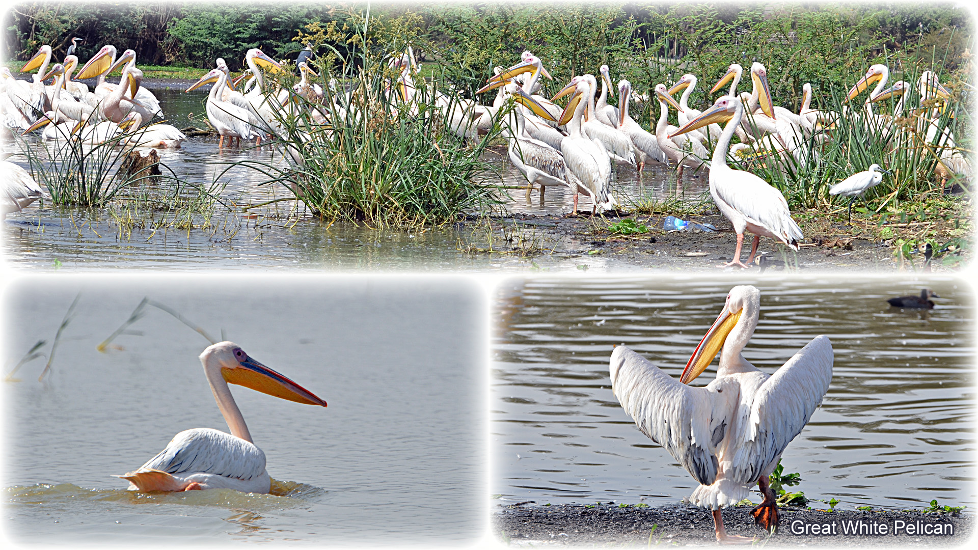 1a, Great White Pelican
