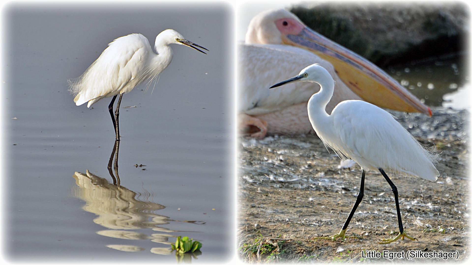 1f, Little Egret