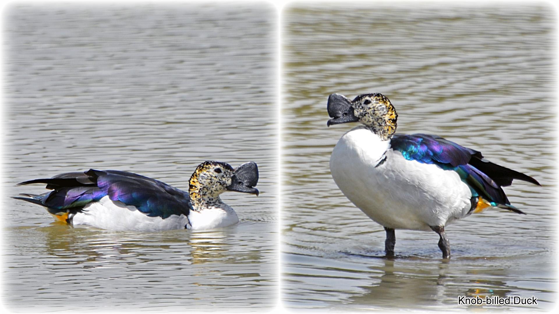 2a, Knob-billed Duck