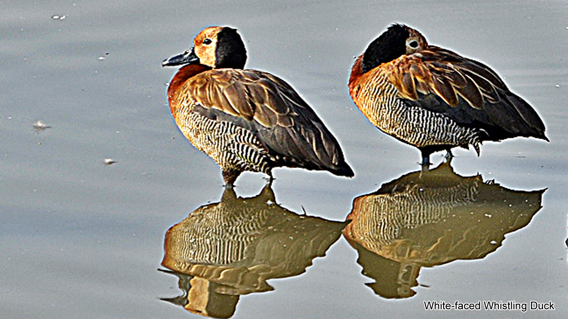 2b, White-faced Whistling Duck
