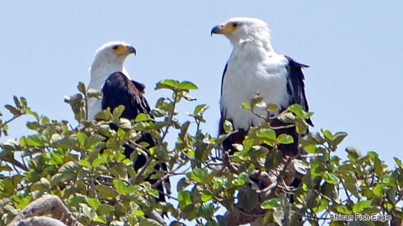 4a, African Fish-Eagle