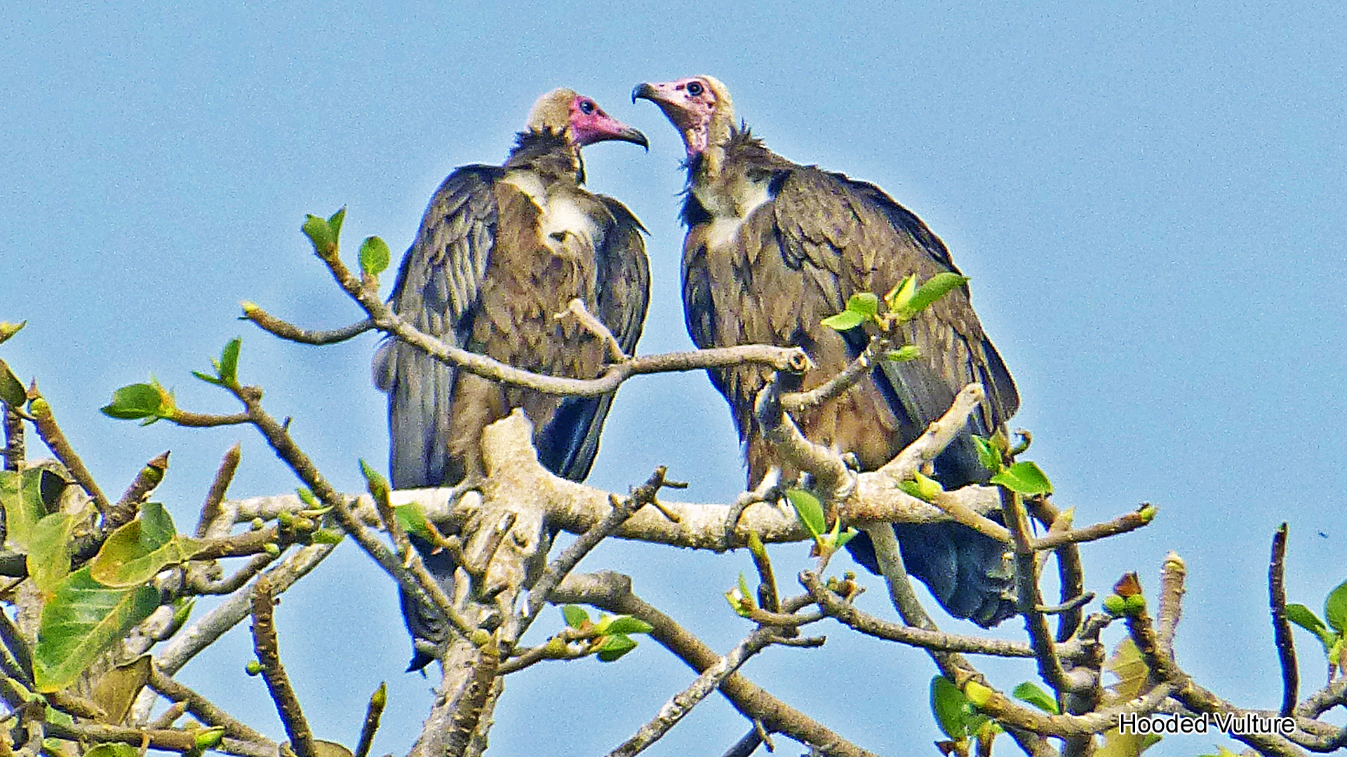 4f, Hooded Vulture