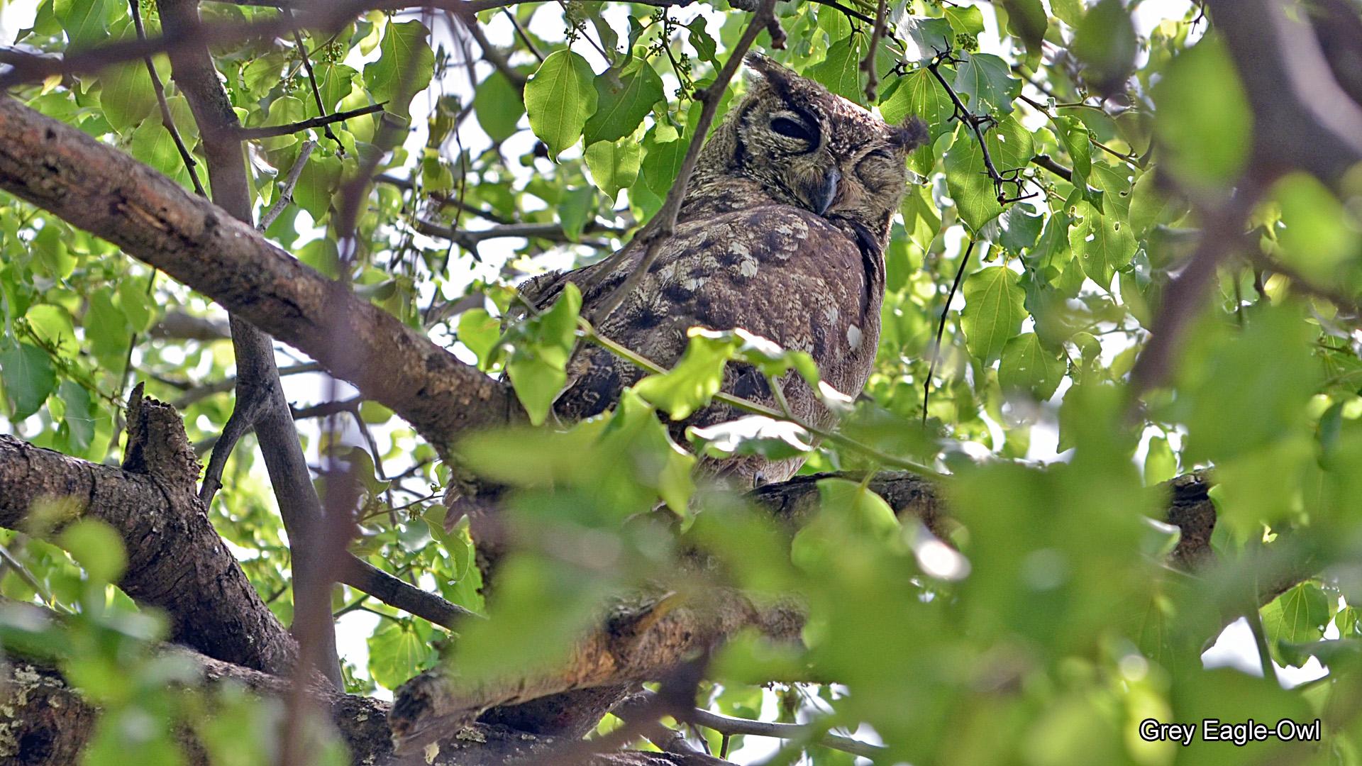 4g, Grey Eagle-Owl