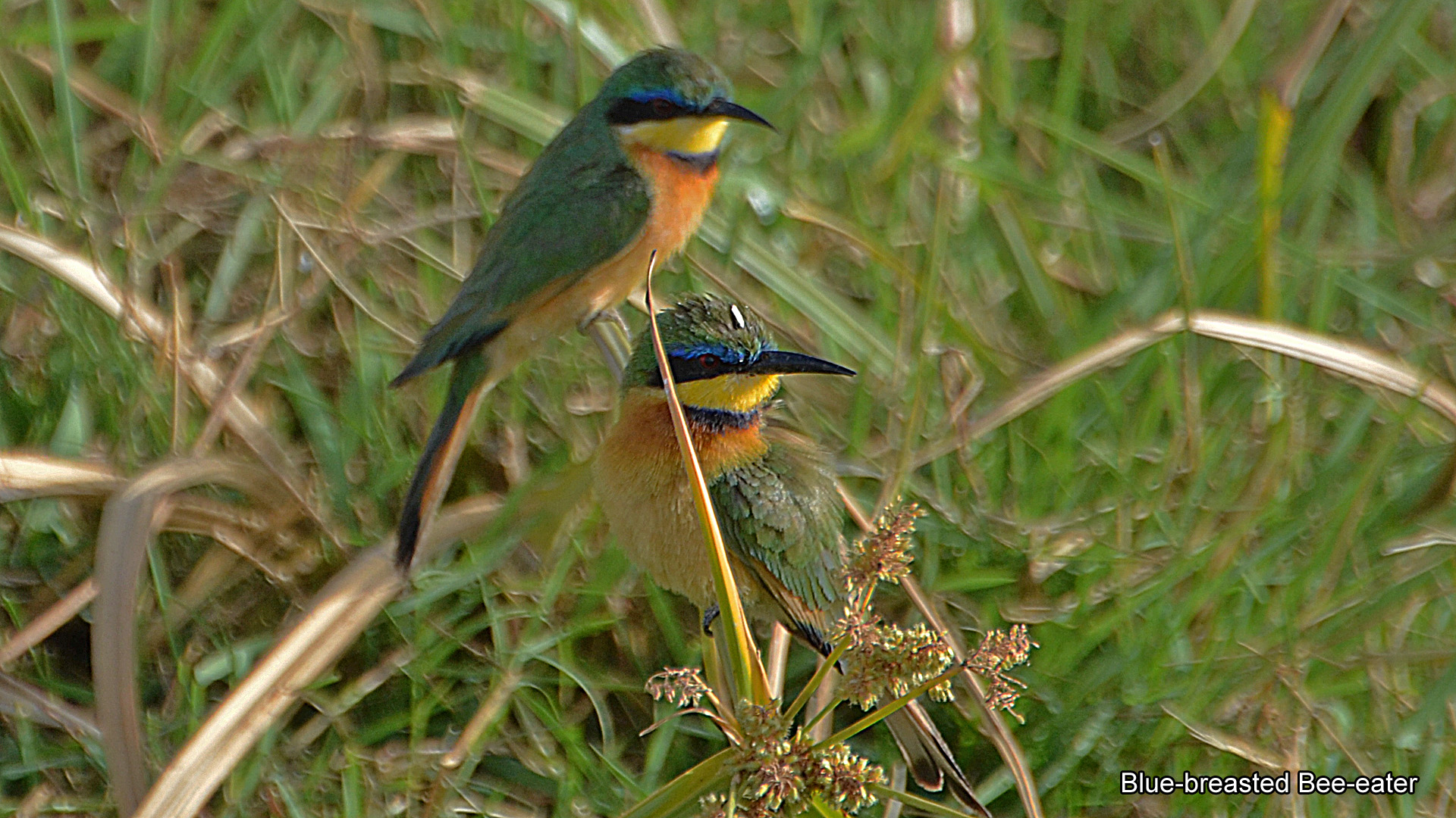 5e, Blue-breasted Bee-eater